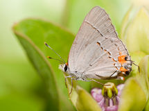 Tiny Gray Hairstreak butterfly Stock Images