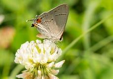 Tiny Gray Hairstreak butterfly Stock Photo