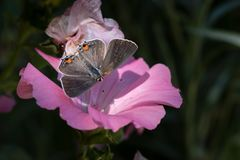 Macro of Open-winged Gray Hairstreak Butterfly on Pink Bloom royalty free stock photography