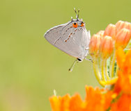 Tiny Gray Hairstreak, Strymon melinus Royalty Free Stock Photos