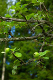 Tiny green apples on tree Stock Photography