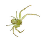 Tiny green crab spider, over white Royalty Free Stock Photos