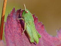 Tiny Green Grasshopper on Red Leaf Stock Image