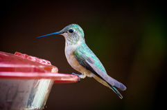 Tiny green hummingbird sitting Royalty Free Stock Image