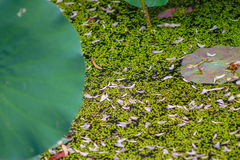Tiny green leaf on the water with a locus flower leaf. Hong kong Stock Image