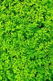 Tiny Green leaves background. Stock Photo