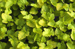Tiny green leaves background. Tiny green leaves background at sunset Stock Image