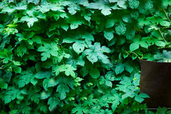 Tiny green leaves background. Royalty Free Stock Photo