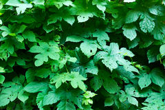 Tiny green leaves background. Royalty Free Stock Photography