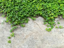 Tiny green leaves on the concrete wall. Stock Images