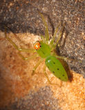 Tiny Green Lynx Spider on a Rock Royalty Free Stock Image