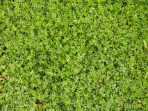 Tiny green plants background. Detail of tiny green plants royalty free stock photography
