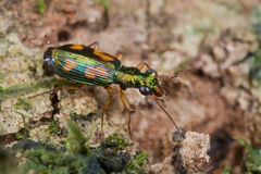 Tiny green tiger beetle Royalty Free Stock Image