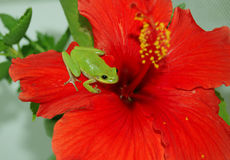 Tiny Green Tree Frog on Red Hibiscus Stock Photos