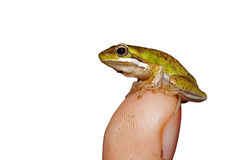 Tiny green tree frog on white Stock Images