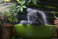 Tiny grey kitten with blue-grey eyes in green bowl royalty free stock photography