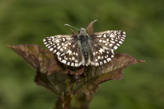Tiny Grizzled Skipper butterfly on bramble leaf Stock Images