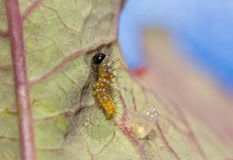 Free Tiny Gulf Fritillary Butterfly Caterpillar Right After Eclosing From His Egg Stock Photo - 103678740