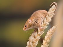 Tiny harvest Mouse Stock Photo