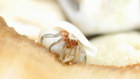Tiny hermit crab eat stock footage