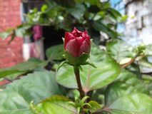 Hibiscus Flower & x28; Joba Phool& x29; stock photo