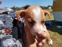 Tiny homeless pitbull puppy outdoor stock image