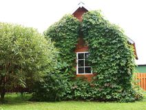 Tiny house covered with ivy. Russian country house covered with ivy (dacha Stock Images