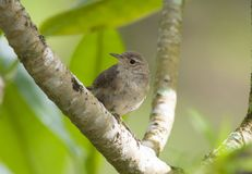 Tiny House Wren Troglodytes aedon perched on a tree branch stock images