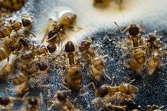 Tiny household ants stock photos