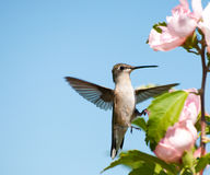 Tiny Hummingbird clinging onto an Althea flower Stock Image