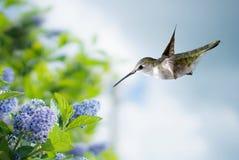 Tiny Hummingbird in the Garden Royalty Free Stock Photography