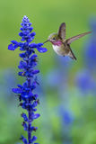 Tiny Hummingbird in the Garden Vertical Image Royalty Free Stock Image