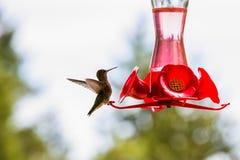 Tiny hummingbird getting a drink at a backyard feeder Royalty Free Stock Photos