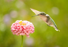 Tiny Hummingbird getting ready to feed on a flower Stock Photography