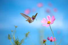 Tiny hummingbird hover in mid-air Royalty Free Stock Images