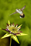 Tiny hummingbird hover in mid-air Stock Images