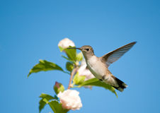 Tiny Hummingbird looking suspiciously at viewer Stock Images