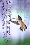 Tiny Hummingbird over background of purple wisteria vertical ima Stock Photos