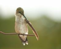 Tiny Hummingbird preening his wing Stock Image