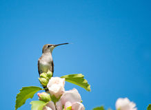 Tiny Hummingbird resting on the top of Althea bush Stock Photo