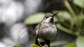 Tiny hummingbird sits in rhododendron looking around sky. In winter stock video