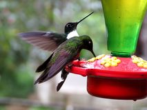 Two green hummingbirds drinking Royalty Free Stock Photography