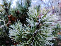 Tiny icicles on the fir tree branch, detail of nature during winter season. Fragility and calmness conceptualization Stock Photos