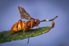 Tiny Infant Ichneumon Wasp Stock Photos