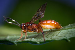 Tiny Infant Ichneumon Wasp Royalty Free Stock Images