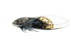 Tiny insect black cicada Stock Photography