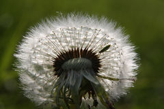 Tiny insect in a dandelion Stock Images