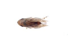 Tiny insect leafhopper Royalty Free Stock Image