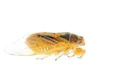 Tiny insect yellow cicada macro isolated Stock Image