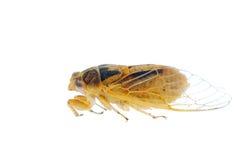 Tiny insect yellow cicada macro isolated Stock Photos